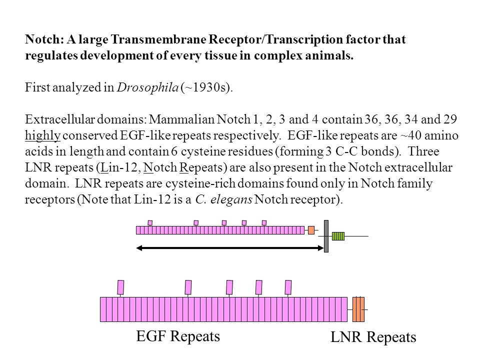 Notch: A large Transmembrane Receptor/Transcription factor that regulates development of every tissue in complex animals.