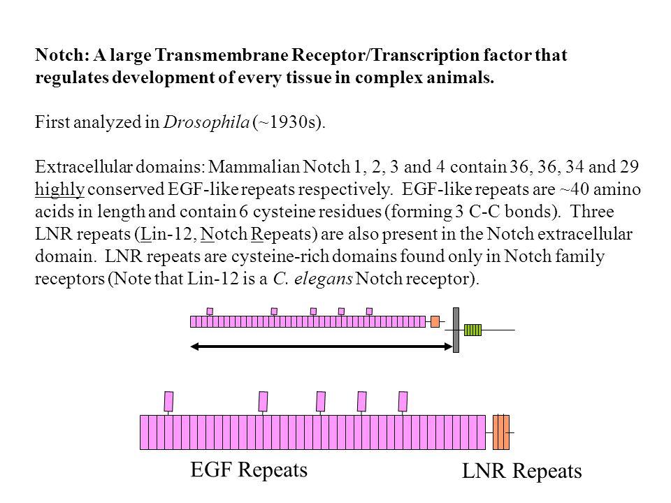 Notch: A large Transmembrane Receptor/Transcription factor.