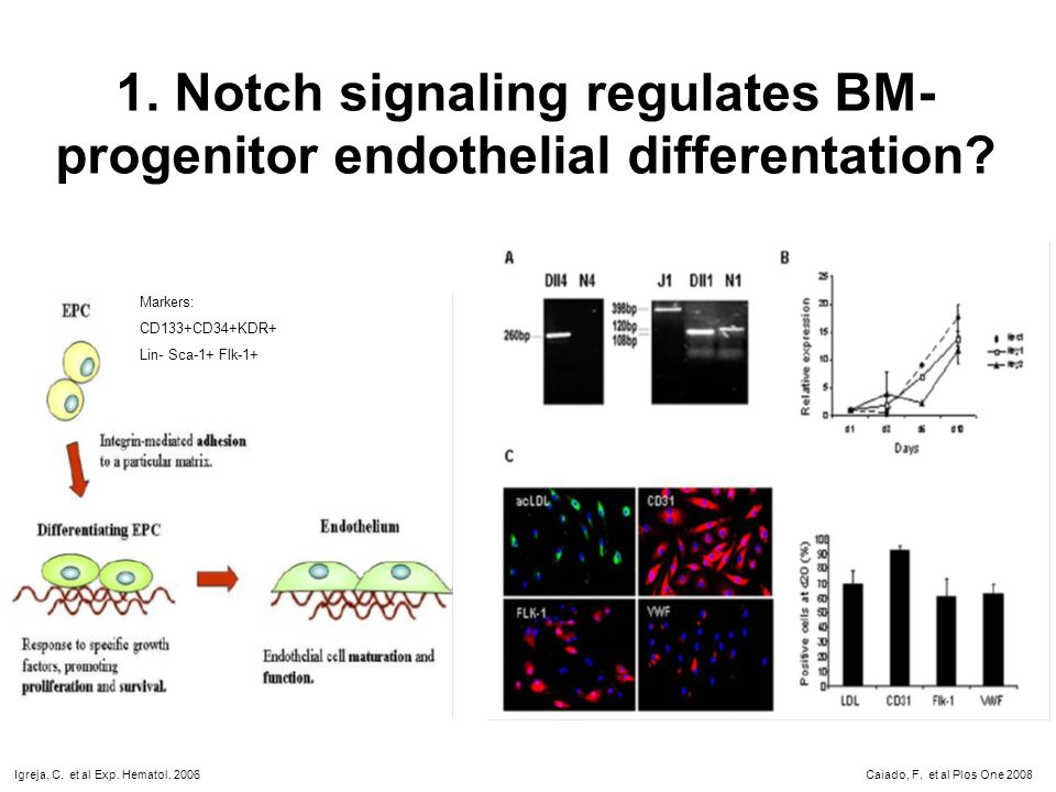 1. Notch signaling regulates BM- progenitor endothelial differentation? Markers: CD133+CD34+KDR+ Lin- Sca-1+ Flk-1+ Igreja, C. et al Exp. Hematol. 200