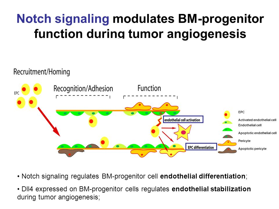 Notch signaling modulates BM-progenitor function during tumor angiogenesis EPC Activated endothelial cell Endothelial cell Apoptotic endothelial cell