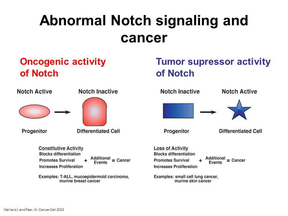 Abnormal Notch signaling and cancer Oncogenic activity of Notch Tumor supressor activity of Notch Maillard,I. and Pear, W. Cancer Cell 2003