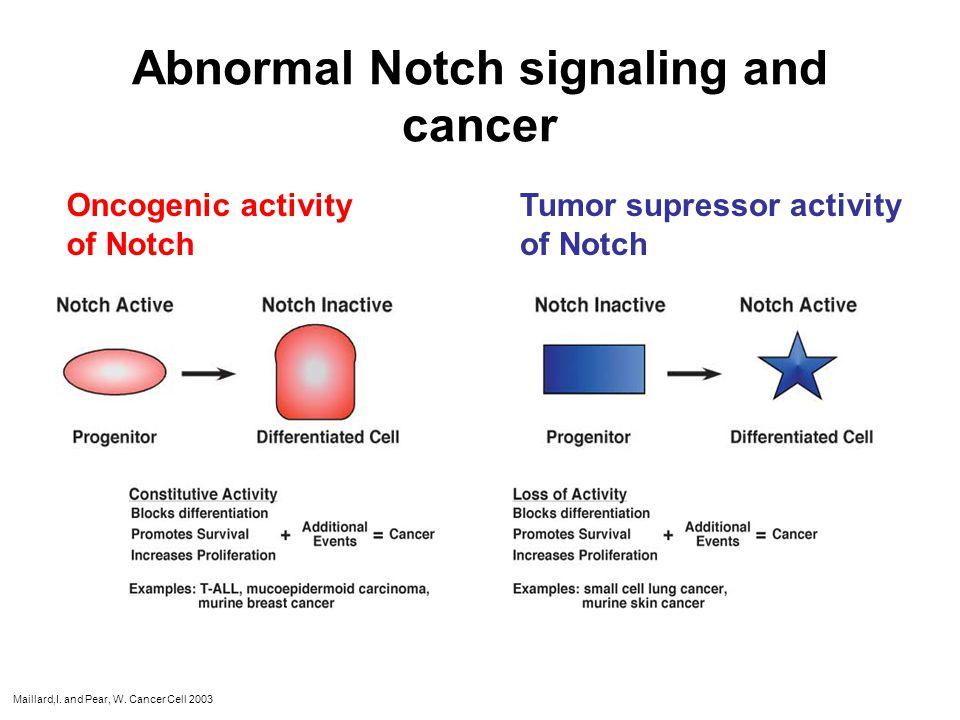 Notch signaling modulates BM-progenitor function during tumor angiogenesis EPC Activated endothelial cell Endothelial cell Apoptotic endothelial cell Pericyte Apoptotic pericyte Notch signaling regulates BM-progenitor cell endothelial differentiation; Dll4 expressed on BM-progenitor cells regulates endothelial stabilization during tumor angiogenesis;