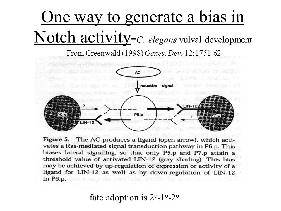 One way to generate a bias in Notch activity- C.