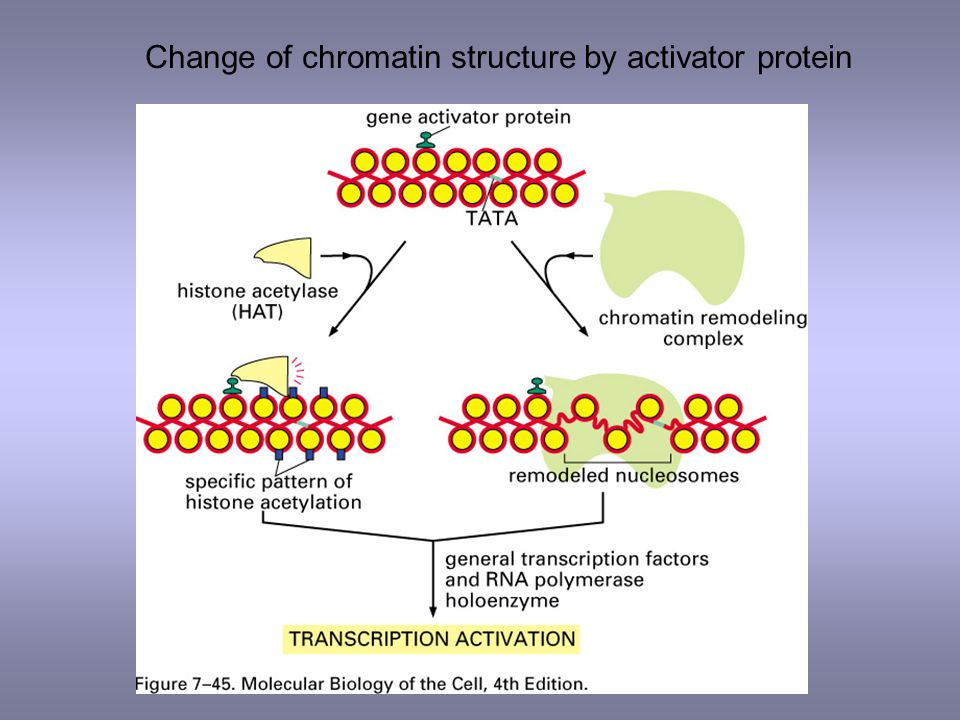 Change of chromatin structure by activator protein
