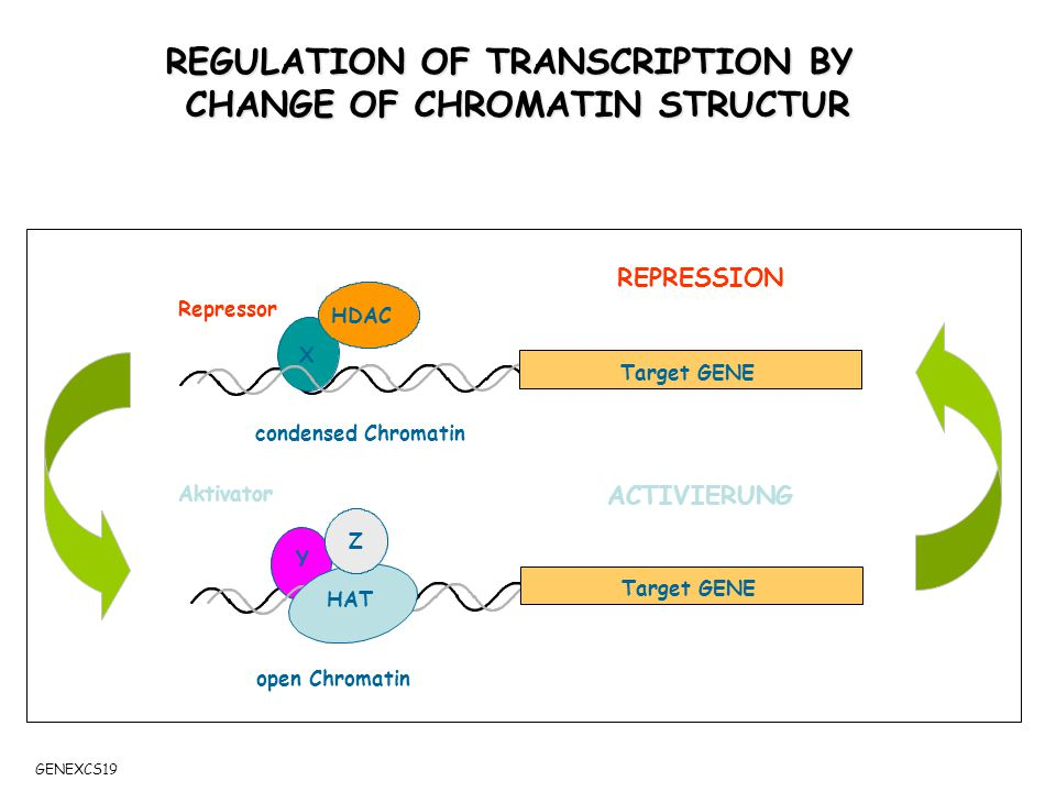 A REPRESSION ACTIVIERUNG HDAC X Y HAT Target GENE Z REGULATION OF TRANSCRIPTION BY CHANGE OF CHROMATIN STRUCTUR condensed Chromatin open Chromatin Repressor Aktivator GENEXCS19