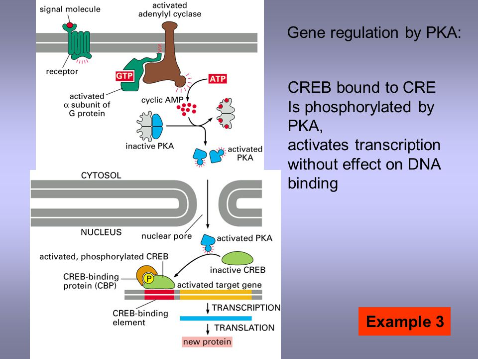 Gene regulation by PKA: CREB bound to CRE Is phosphorylated by PKA, activates transcription without effect on DNA binding Example 3