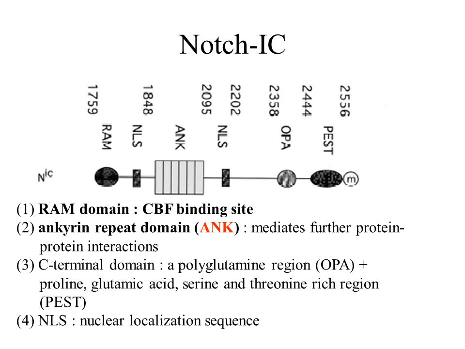 Notch-IC (1) RAM domain : CBF binding site (2) ankyrin repeat domain (ANK) : mediates further protein- protein interactions (3) C-terminal domain : a polyglutamine region (OPA) + proline, glutamic acid, serine and threonine rich region (PEST) (4) NLS : nuclear localization sequence