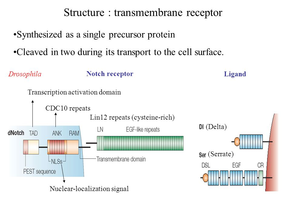 Structure : transmembrane receptor Lin12 repeats (cysteine-rich) CDC10 repeats Nuclear-localization signal Transcription activation domain Synthesized as a single precursor protein Cleaved in two during its transport to the cell surface.
