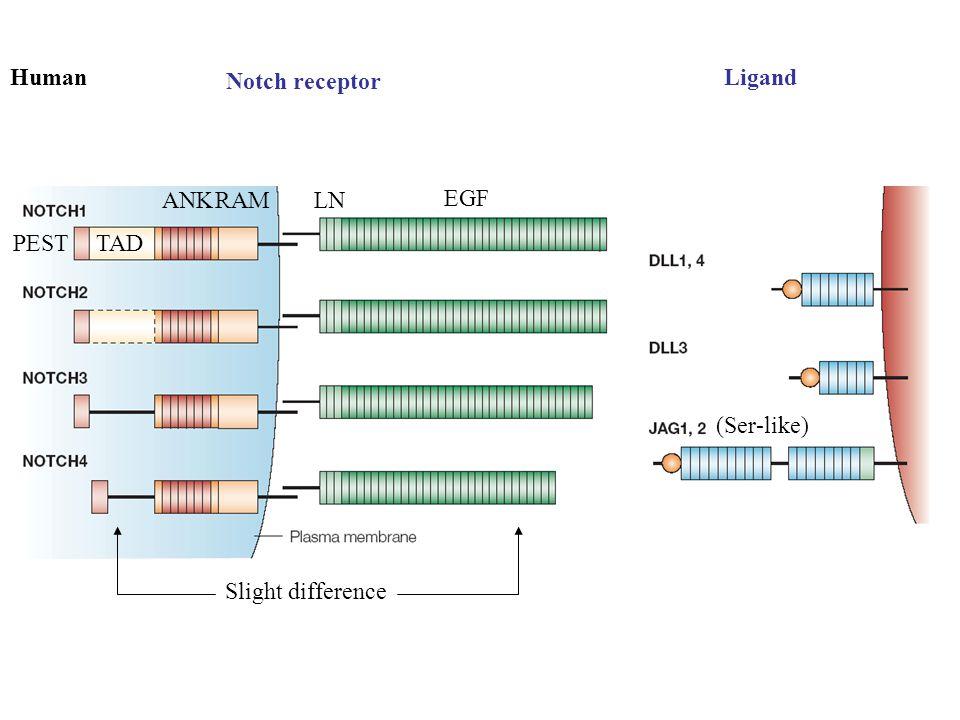 Notch receptor LigandHuman Slight difference EGF LNRAMANK TADPEST (Ser-like)