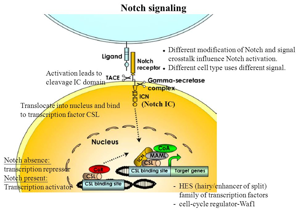 Notch signaling (Notch IC) Notch absence: transcription repressor Notch present: Transcription activator Translocate into nucleus and bind to transcription factor CSL Activation leads to cleavage IC domain -HES (hairy/enhancer of split) family of transcription factors -cell-cycle regulator-Waf1  Different modification of Notch and signal crosstalk influence Notch activation.