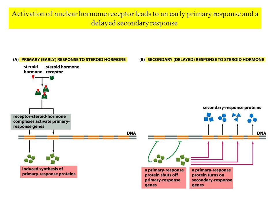 Activation of nuclear hormone receptor leads to an early primary response and a delayed secondary response