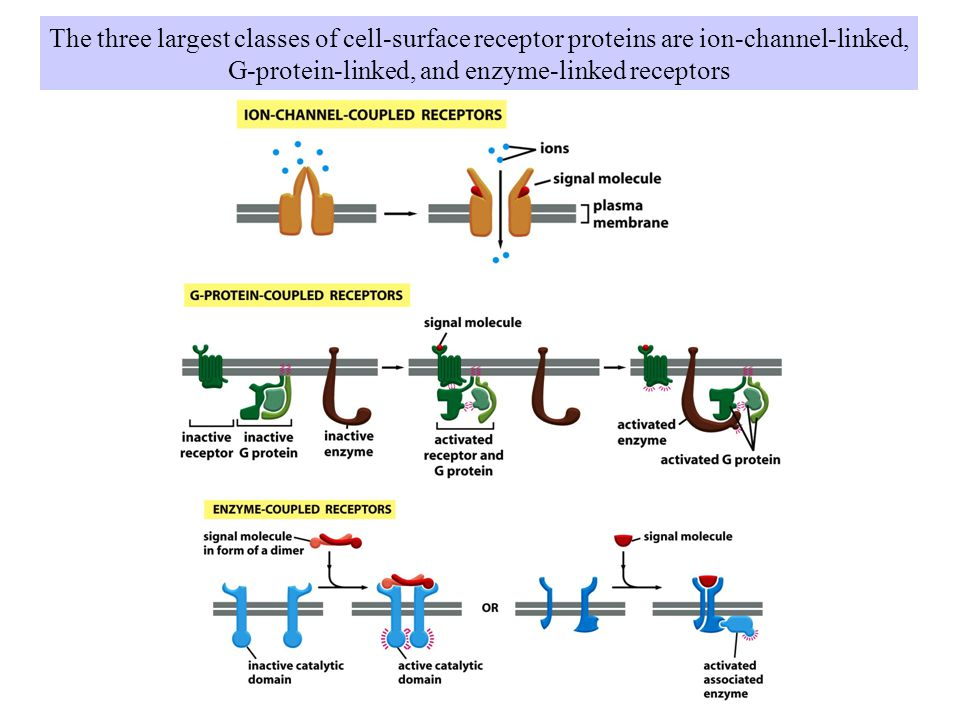 The three largest classes of cell-surface receptor proteins are ion-channel-linked, G-protein-linked, and enzyme-linked receptors
