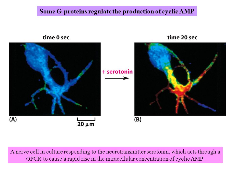 Some G-proteins regulate the production of cyclic AMP A nerve cell in culture responding to the neurotransmitter serotonin, which acts through a GPCR