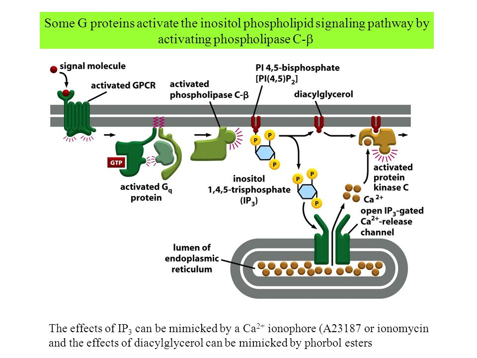 Some G proteins activate the inositol phospholipid signaling pathway by activating phospholipase C-  The effects of IP 3 can be mimicked by a Ca 2+ i