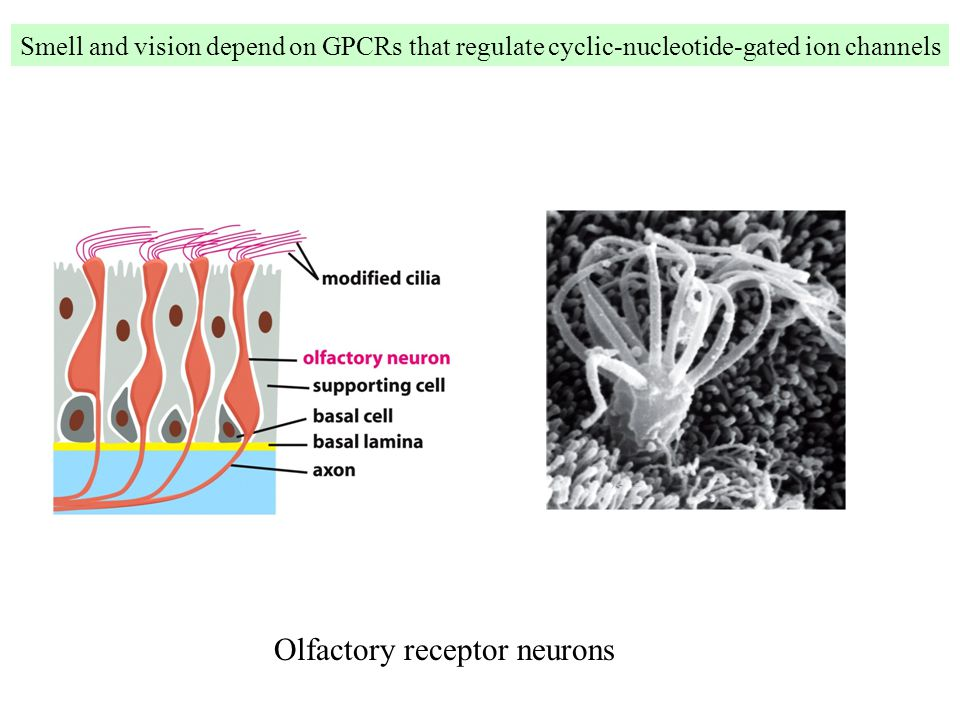 Smell and vision depend on GPCRs that regulate cyclic-nucleotide-gated ion channels Olfactory receptor neurons