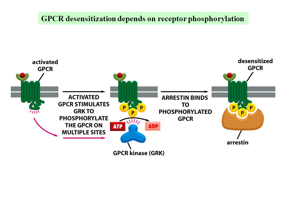 GPCR desensitization depends on receptor phosphorylation