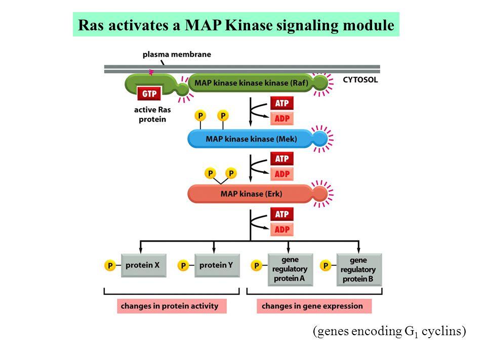 Ras activates a MAP Kinase signaling module (genes encoding G 1 cyclins)