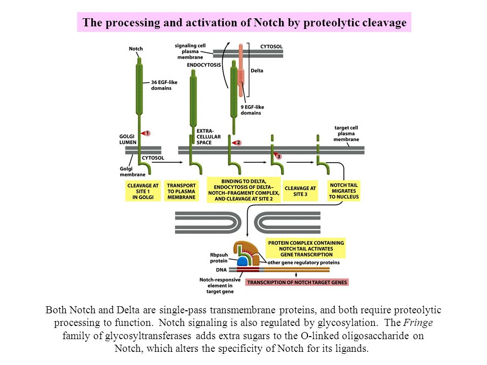 The processing and activation of Notch by proteolytic cleavage Both Notch and Delta are single-pass transmembrane proteins, and both require proteolyt