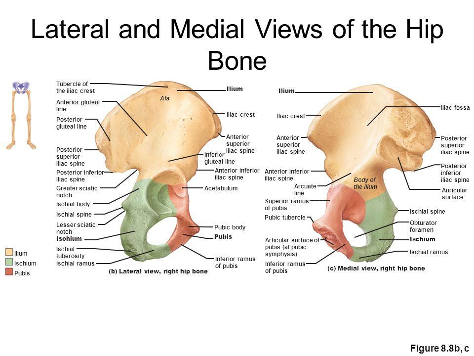 Iliac crest Iliac fossa Anterior superior iliac spine Anterior inferior iliac spine Posterior superior iliac spine Greater sciatic notch ILIUM Posterior inferior iliac spine