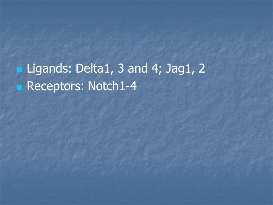 Ligands: Delta1, 3 and 4; Jag1, 2 Receptors: Notch1-4