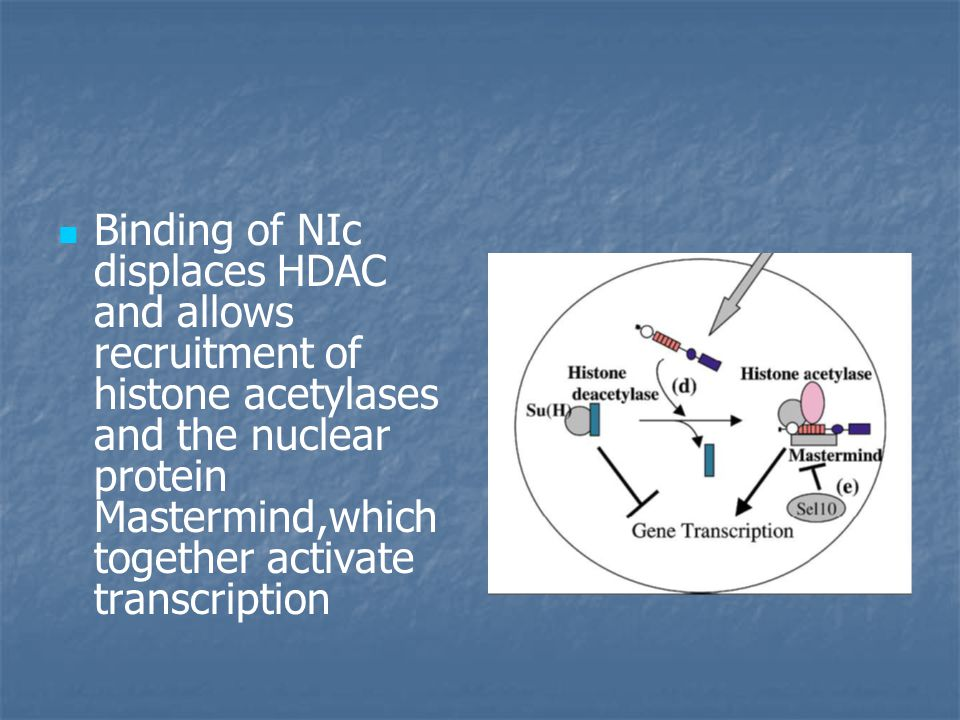 Binding of NIc displaces HDAC and allows recruitment of histone acetylases and the nuclear protein Mastermind,which together activate transcription