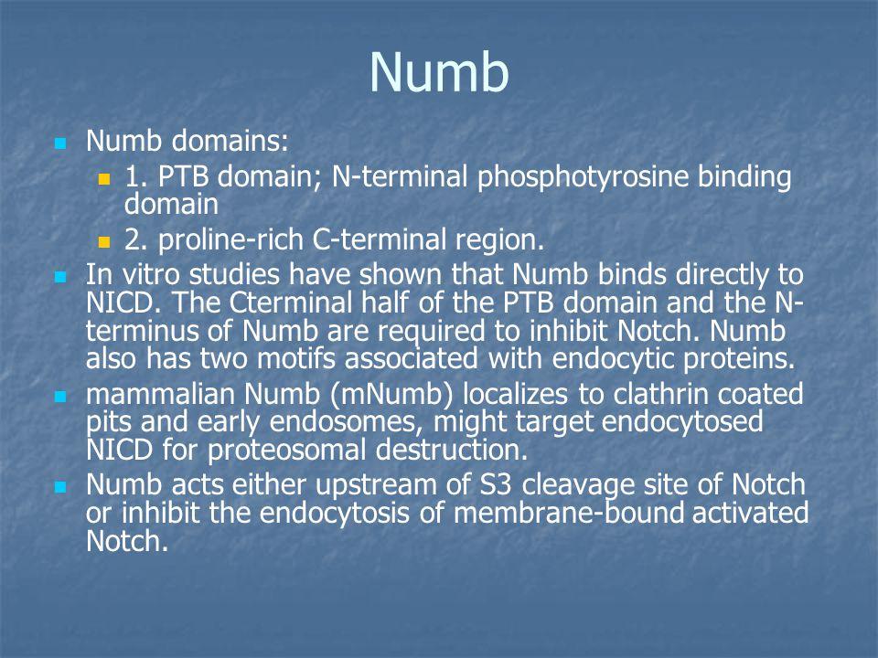 Numb Numb domains: 1. PTB domain; N-terminal phosphotyrosine binding domain 2.