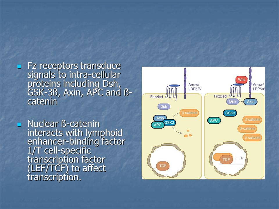 Fz receptors transduce signals to intra-cellular proteins including Dsh, GSK-3ß, Axin, APC and ß- catenin Fz receptors transduce signals to intra-cellular proteins including Dsh, GSK-3ß, Axin, APC and ß- catenin Nuclear ß-catenin interacts with lymphoid enhancer-binding factor 1/T cell-specific transcription factor (LEF/TCF) to affect transcription.