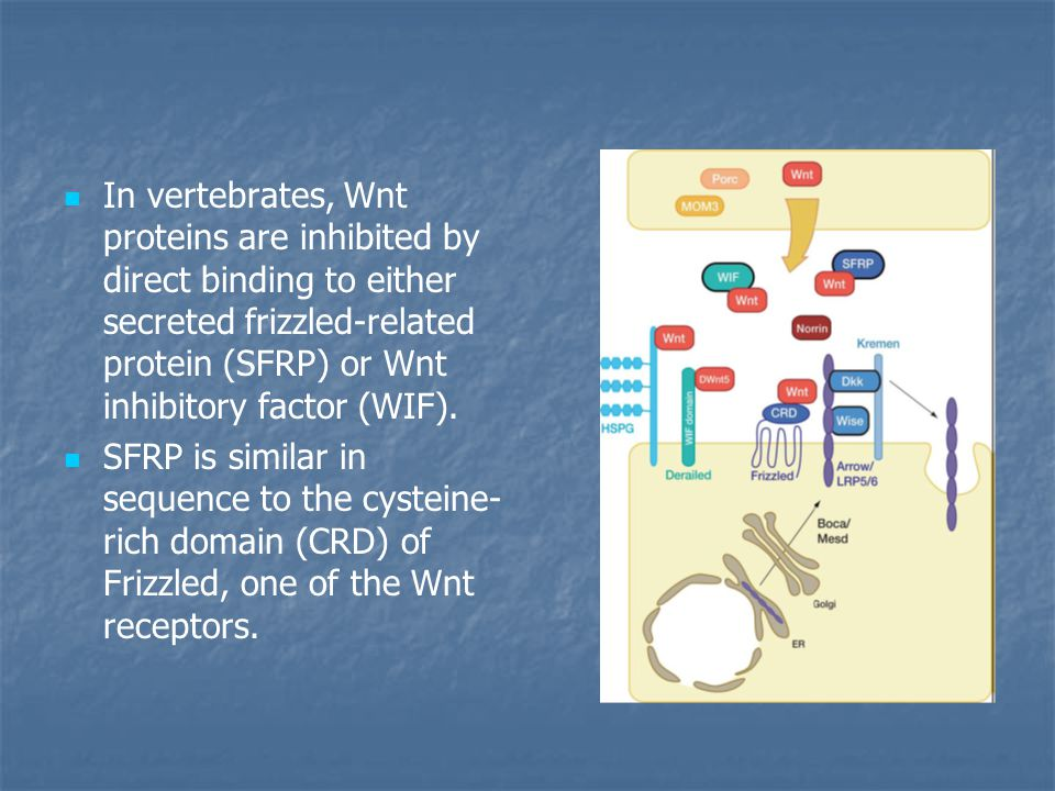 In vertebrates, Wnt proteins are inhibited by direct binding to either secreted frizzled-related protein (SFRP) or Wnt inhibitory factor (WIF).