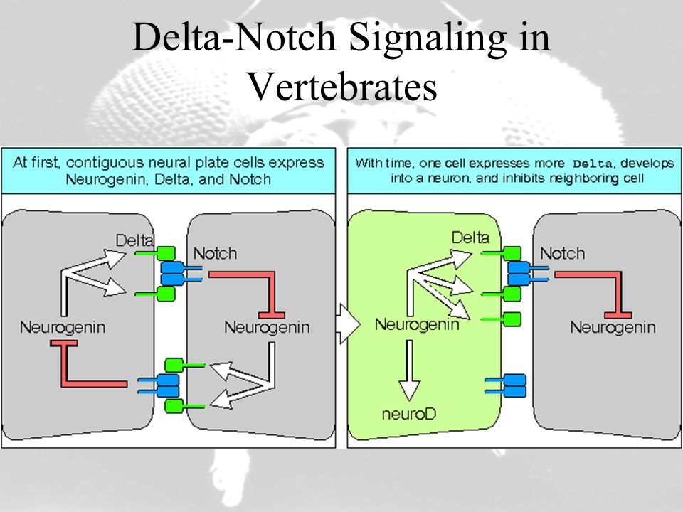 Delta-Notch Signaling in Vertebrates