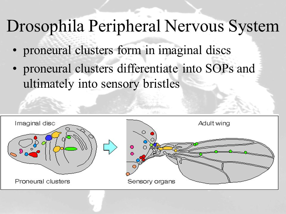 Drosophila Peripheral Nervous System proneural clusters form in imaginal discs proneural clusters differentiate into SOPs and ultimately into sensory