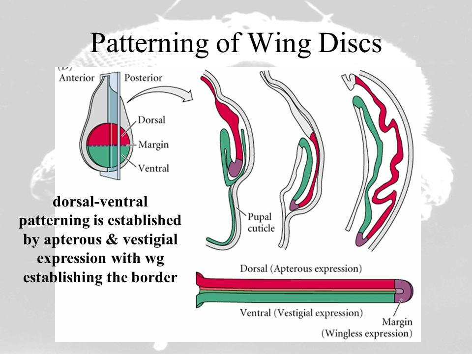 Patterning of Wing Discs dorsal-ventral patterning is established by apterous & vestigial expression with wg establishing the border