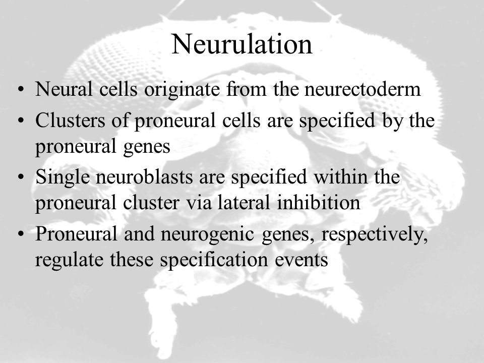 Differentiation of Sensory Bristles numb & Notch mutations SMC (sensory mother cells) also called SOP (sensory organ precursor) no SMC