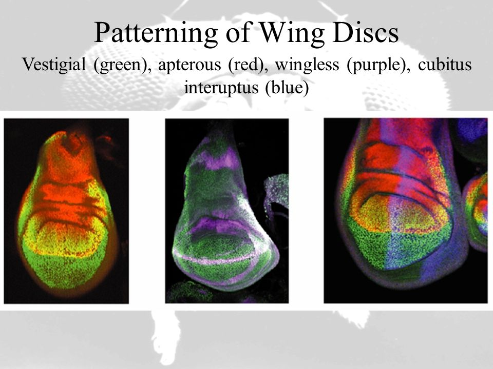Patterning of Wing Discs Vestigial (green), apterous (red), wingless (purple), cubitus interuptus (blue)