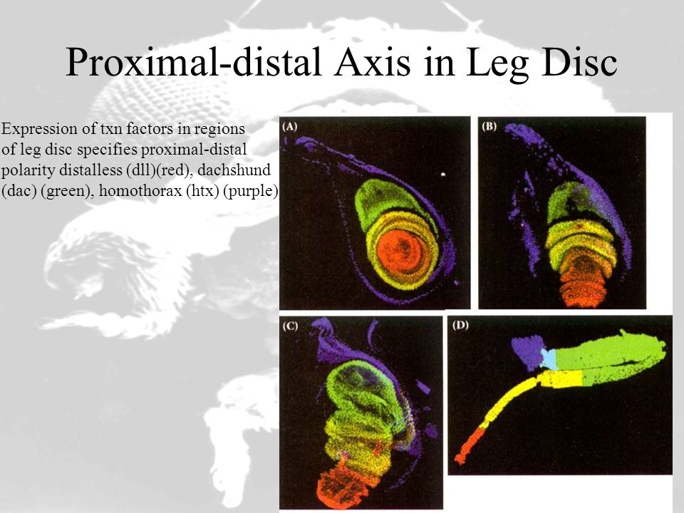 Proximal-distal Axis in Leg Disc Expression of txn factors in regions of leg disc specifies proximal-distal polarity distalless (dll)(red), dachshund