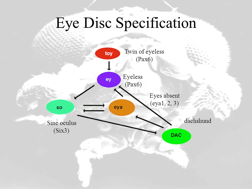 Eye Disc Specification Twin of eyeless (Pax6) Eyeless (Pax6) Eyes absent (eya1, 2, 3) Sine oculus (Six3) dachshund