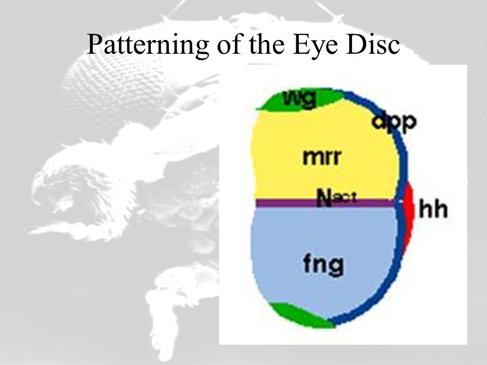 Patterning of the Eye Disc