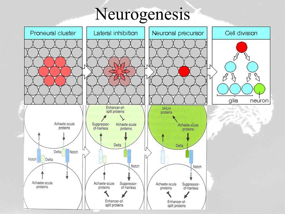 Organogenesis Imaginal Disc