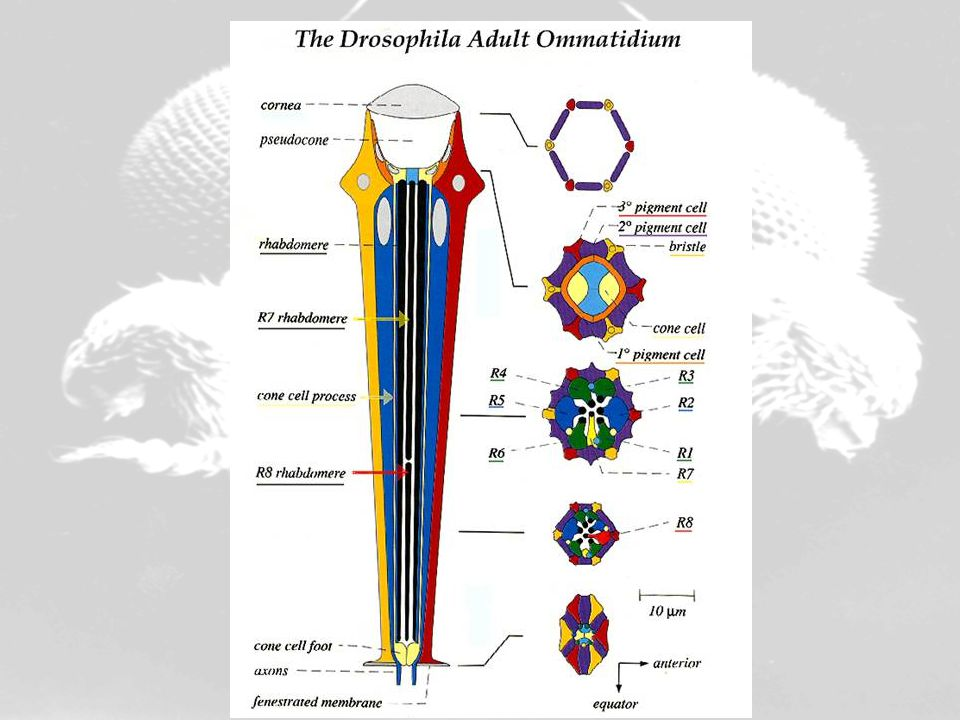 Drosophila ommatidium