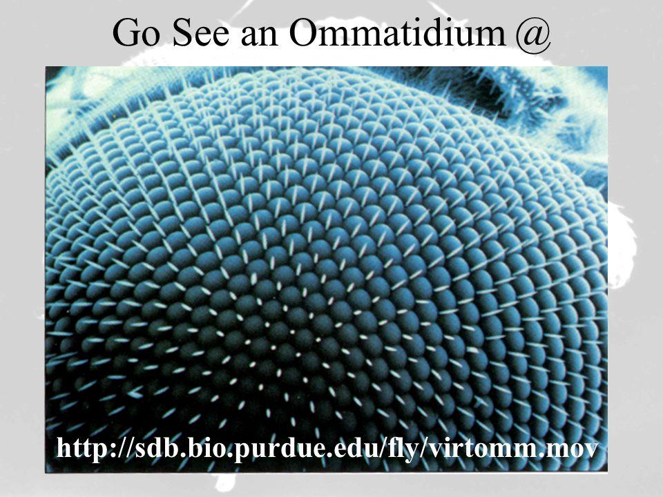Go See an Ommatidium @ http://sdb.bio.purdue.edu/fly/virtomm.mov
