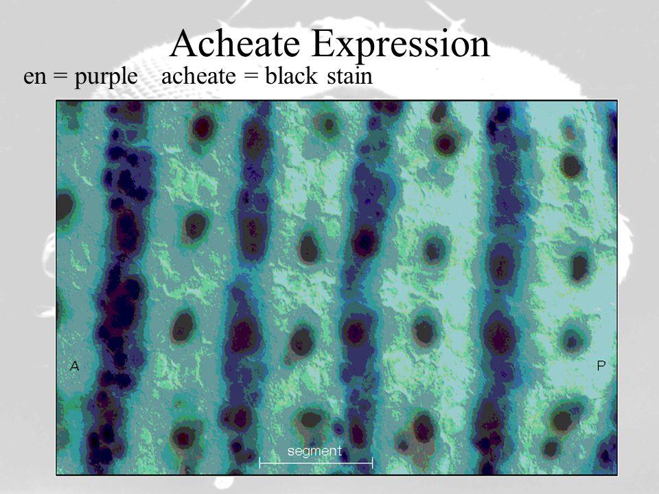 Acheate Expression en = purpleacheate = black stain