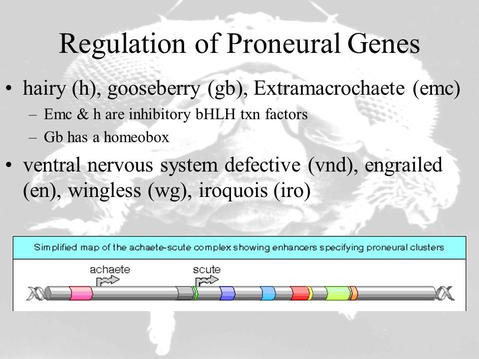 Regulation of Proneural Genes hairy (h), gooseberry (gb), Extramacrochaete (emc) –Emc & h are inhibitory bHLH txn factors –Gb has a homeobox ventral n