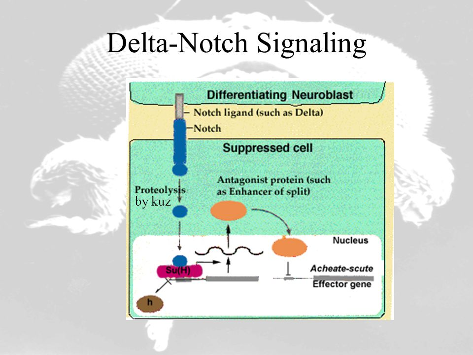 Delta-Notch Signaling by kuz