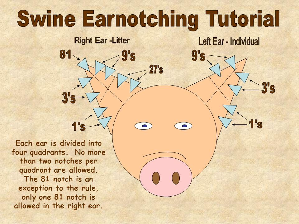 Each ear is divided into four quadrants. No more than two notches per quadrant are allowed.