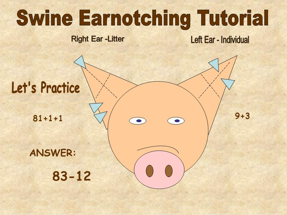 - For advanced earnotching, a 27 notch in the pigs left ear, counts as a 200 notch for the right ear -An 81 notch in the pigs left ear, counts towards the right ear.