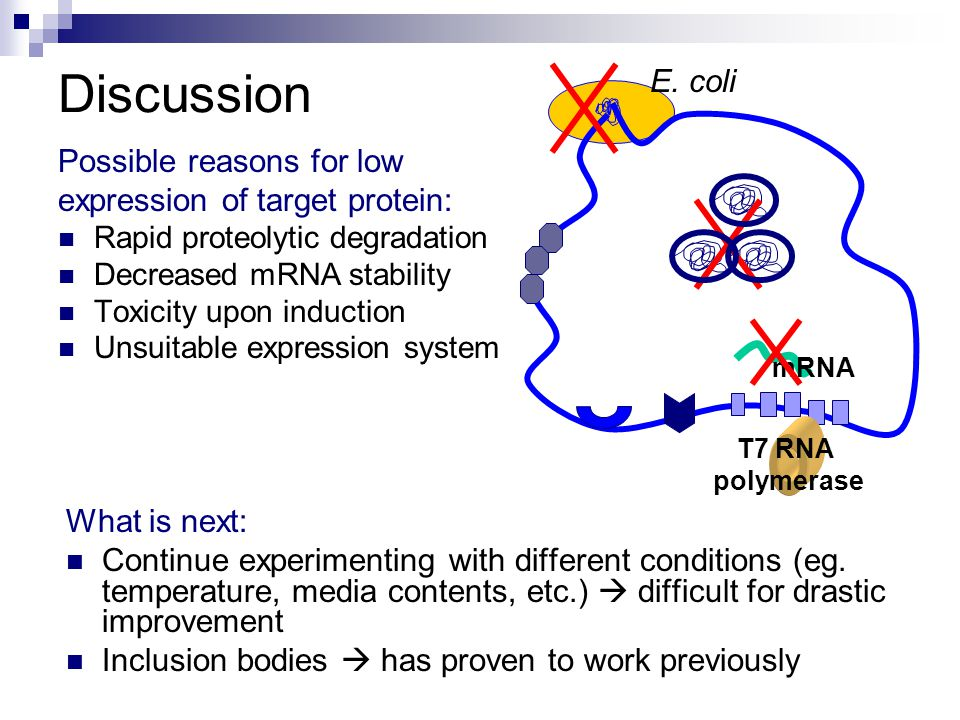 Discussion Possible reasons for low expression of target protein: Rapid proteolytic degradation Decreased mRNA stability Toxicity upon induction Unsuitable expression system What is next: Continue experimenting with different conditions (eg.