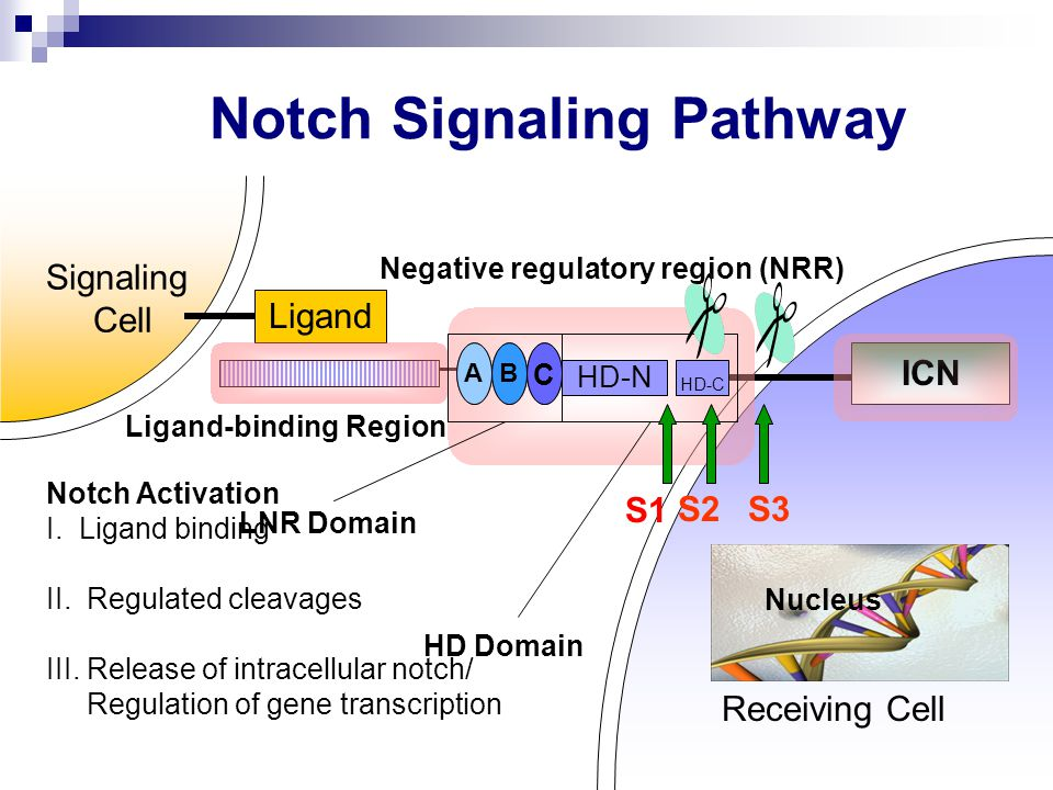 Notch Signaling Pathway Receiving Cell Signaling Cell Ligand AB C ICN Ligand-binding Region Negative regulatory region (NRR) HD Domain LNR Domain AB C HD-N HD-C S2S3 Nucleus Notch Activation I.