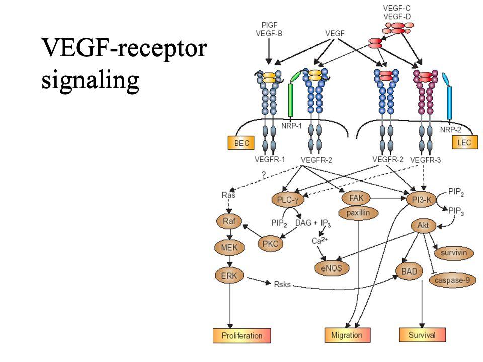 VEGF-receptor signaling
