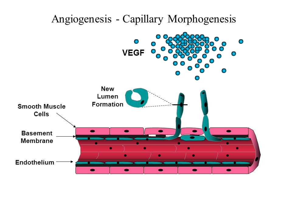 Angiogenesis - Capillary Morphogenesis Endothelium VEGF New Lumen Formation Smooth Muscle Cells Basement Membrane