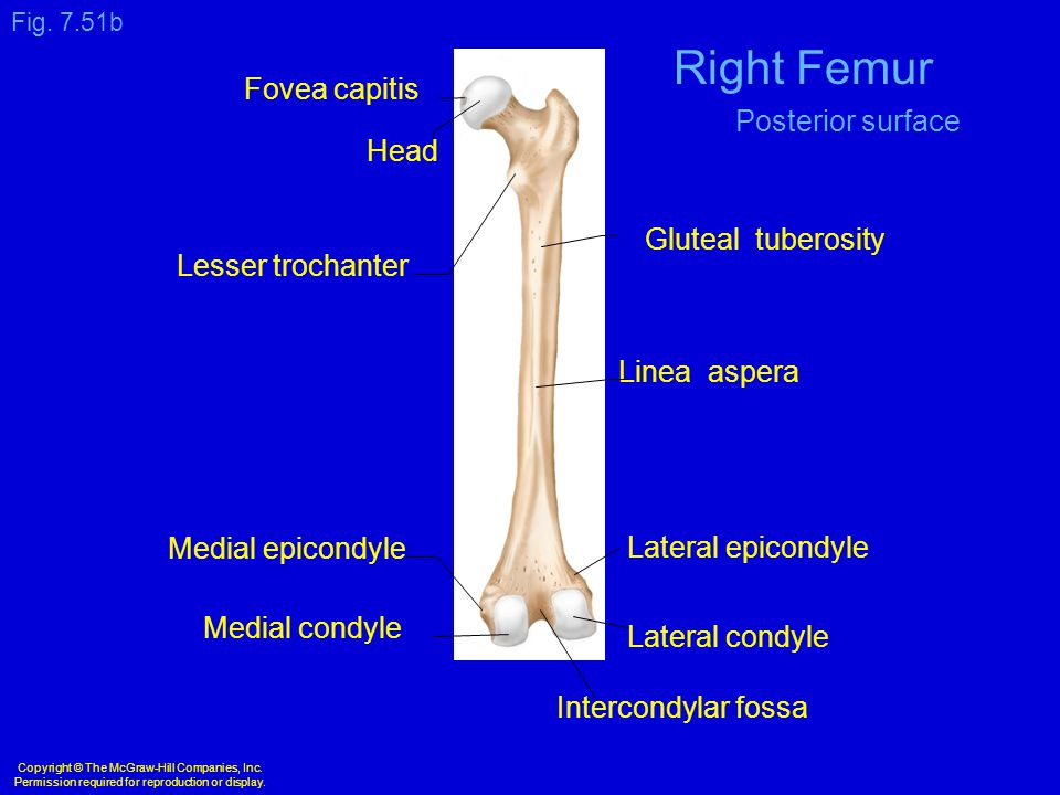 Copyright © The McGraw-Hill Companies, Inc. Permission required for reproduction or display. Lateral condyle Medial condyle Intercondylar fossa Medial