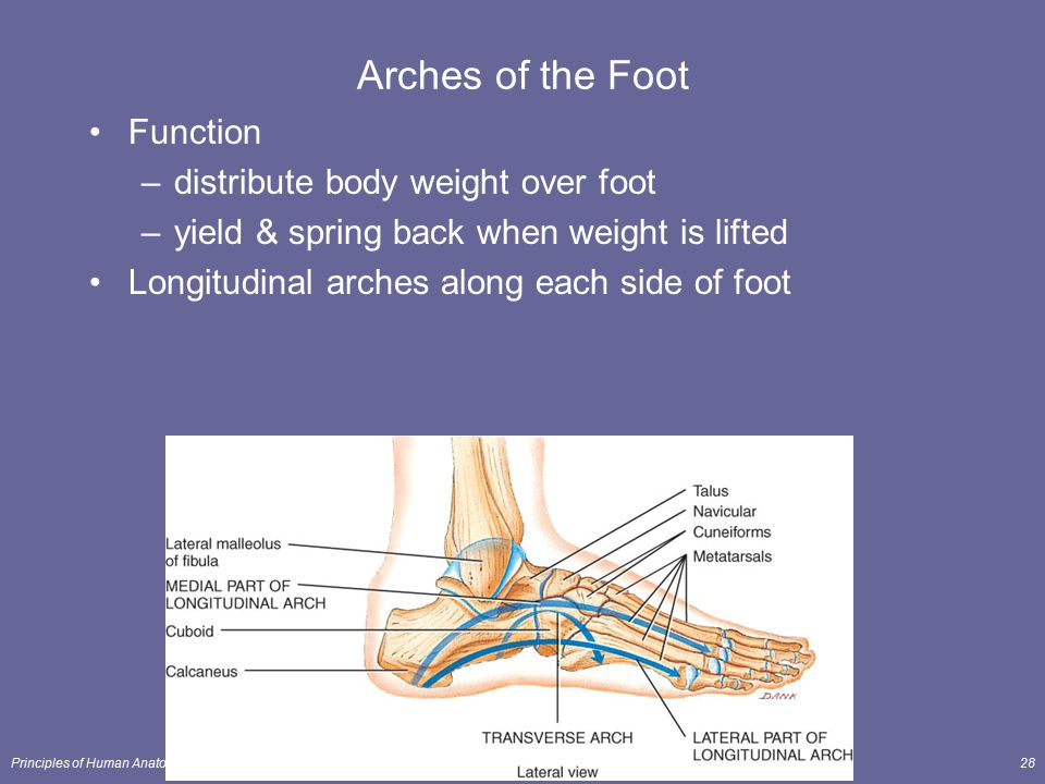 Principles of Human Anatomy and Physiology, 11e28 Arches of the Foot Function –distribute body weight over foot –yield & spring back when weight is li